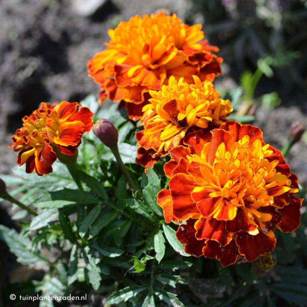 Afrikaantjes in bloei