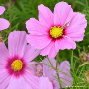 Cosmea bloemen