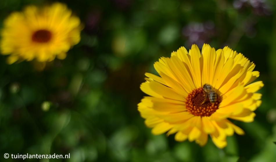 Gele goudsbloem met honingbij
