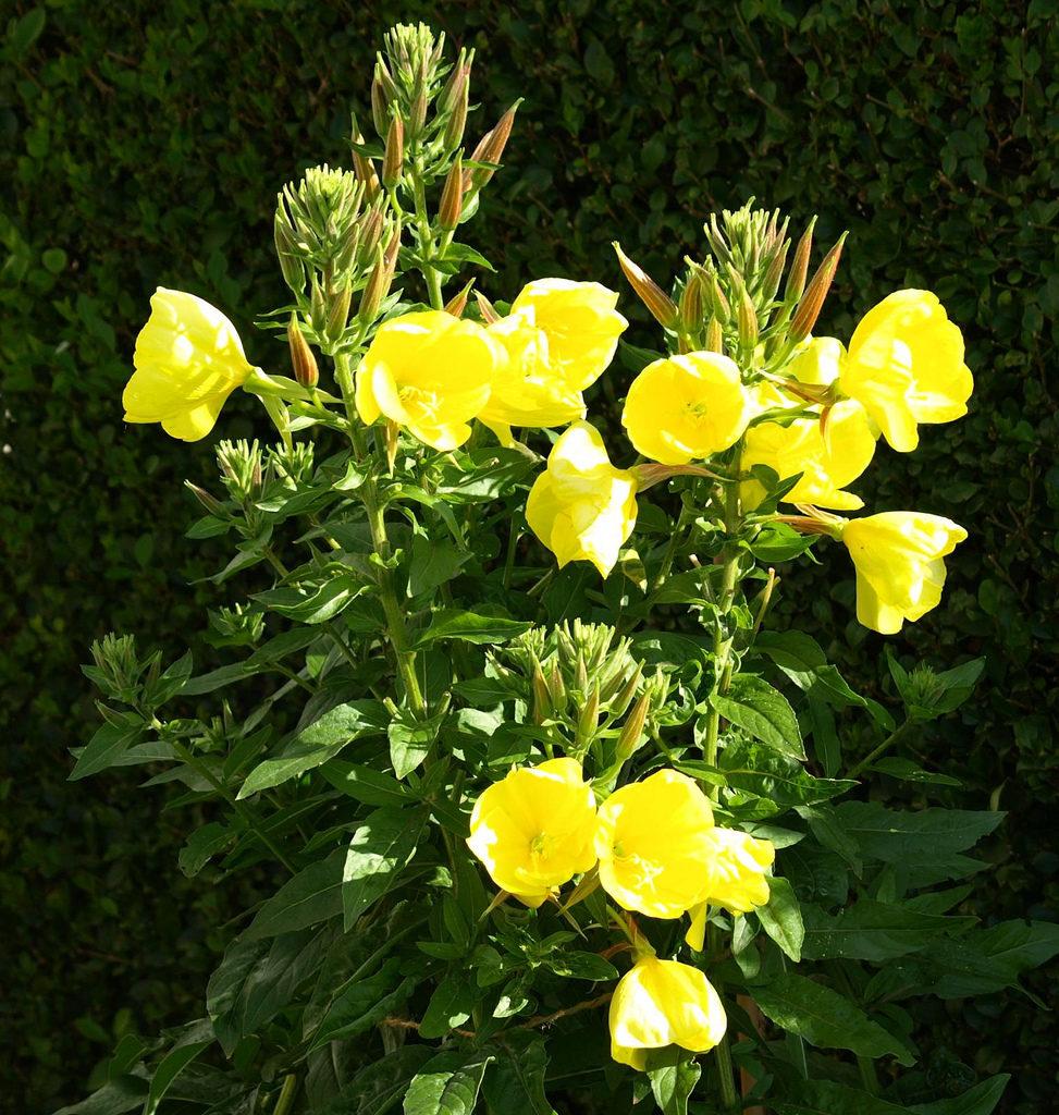 Teunisbloem in bloei