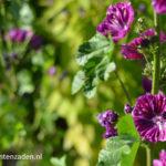 Donkere bloemen Groot Kaasjeskruid