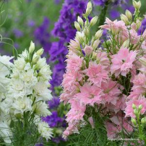 ridderspoor ajacis delphinium hyacinth