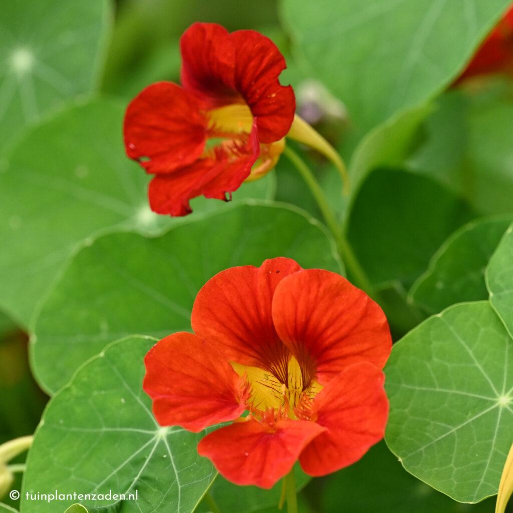 rode oost-indische kers bloemen