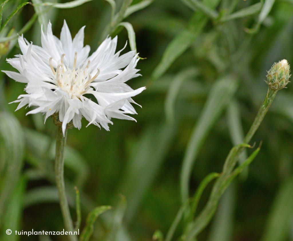 Korenbloem: wit. Dit is de witte kleurvariant van de korenbloem.